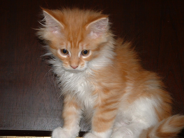 Maine Coon Cat 10 weeks old